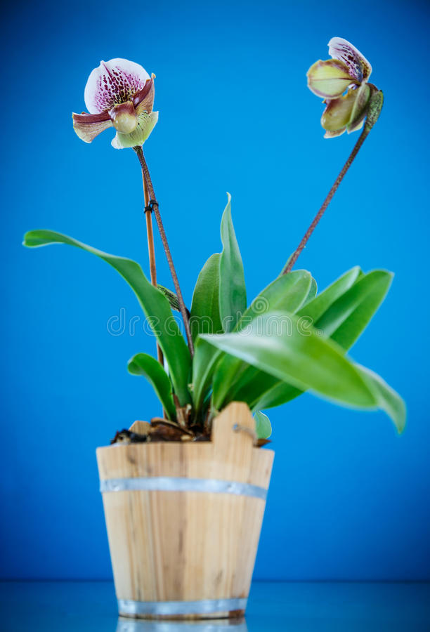 Orchidée de pantoufle de Madame image stock