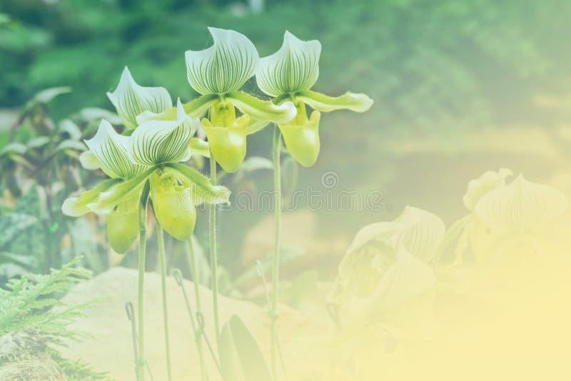 Orchidée de pantoufle verte de Ladys photographie stock libre de droits