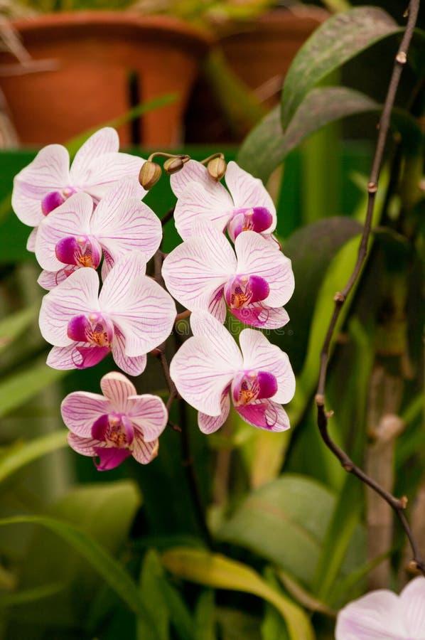 Orchidée de papillon photos stock