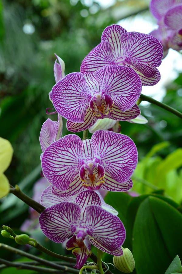 Orchidée de Phalaenopsis à l'exposition 2015 d'orchidée photos libres de droits