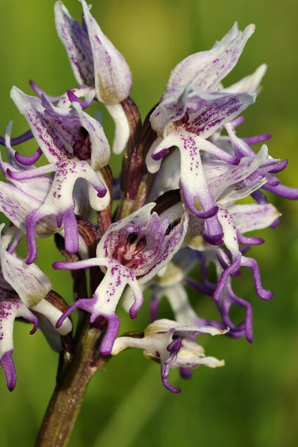 Orchidée de singe photographie stock libre de droits