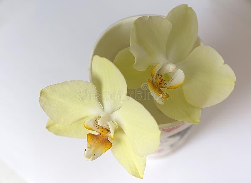 Orchidée de vanille dans une tasse de papier photographie stock