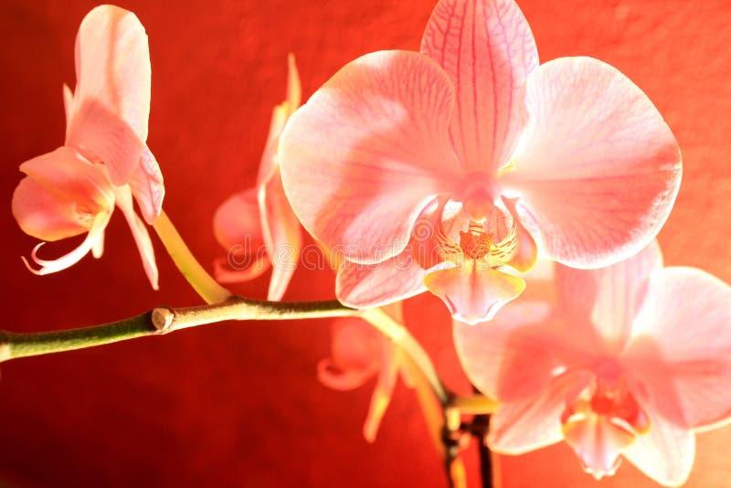Orchidée en fleur photographie stock libre de droits