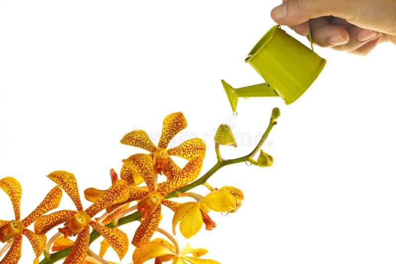 Orchidée et boîte d'arrosage jaunes à disposition sur le fond blanc, foyer mou photographie stock