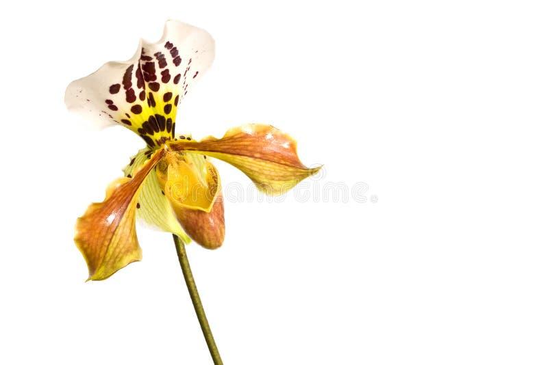 Orchidée jaune de paphiopedilum de pantoufle de Madame, plan rapproché d'isolement sur le blanc image stock