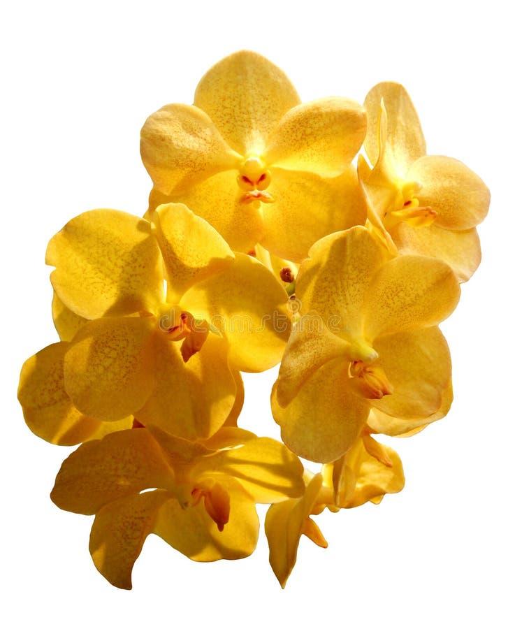 Orchidée jaune de Vanda sur le fond blanc photographie stock