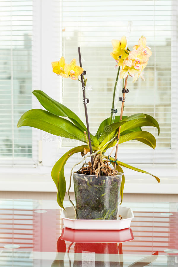 orchid e jaune fleur de pot dans le pot de fleurs transparent image stock image du flore. Black Bedroom Furniture Sets. Home Design Ideas