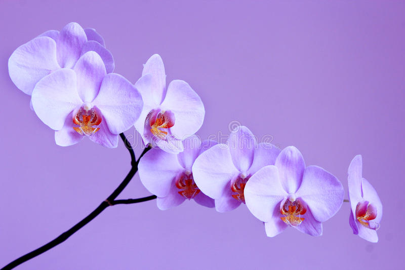 Orchidée lilas légère sur le fond lilas photos stock