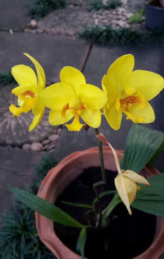 Orchidée moulue jaune photo stock
