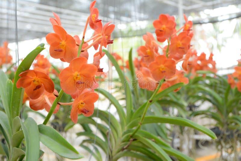 orchidee vanda orange