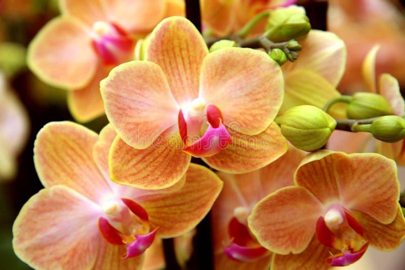 Orchidée orange pâle image stock