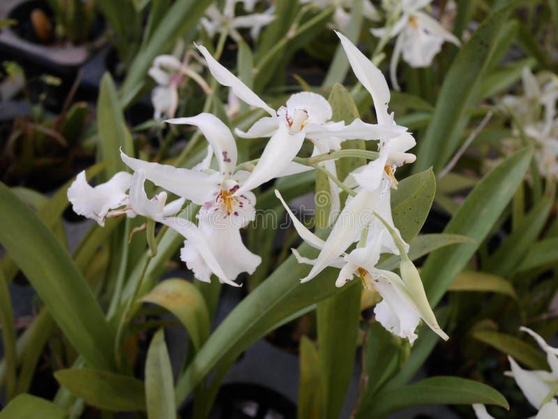 Orchidée, orchidées, fleur, blanc, ressort, floral, beau, nature, flore, fleur, vert, fond, conception, jardin, ferme, usine, b photo stock