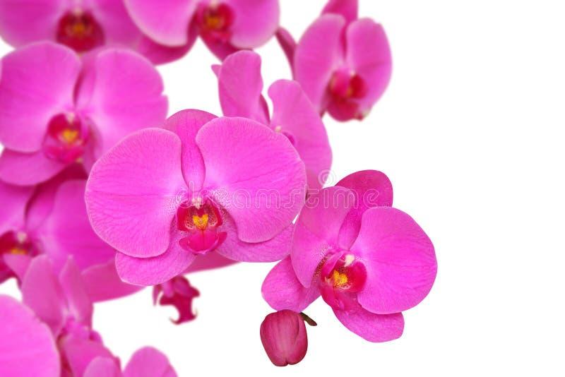 Orchidée pourprée image libre de droits