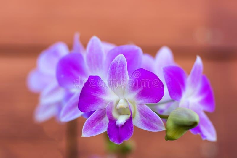 Orchidée pourprée et blanche photos stock