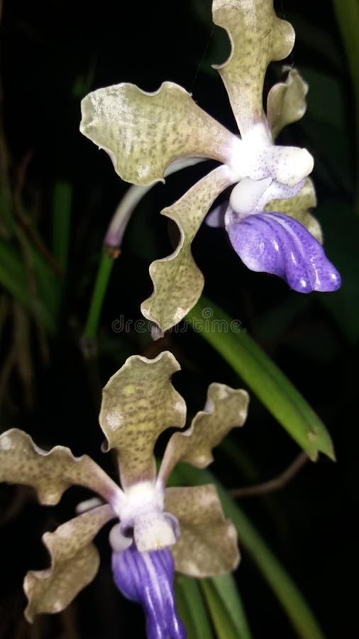 Orchidée pourpre au Sri Lanka, photographie stock libre de droits