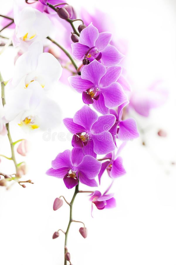 Orchidée pourpre de Dendrobium avec la lumière molle photographie stock libre de droits
