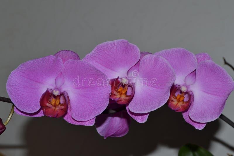 Orchidée pourpre de fleur images stock