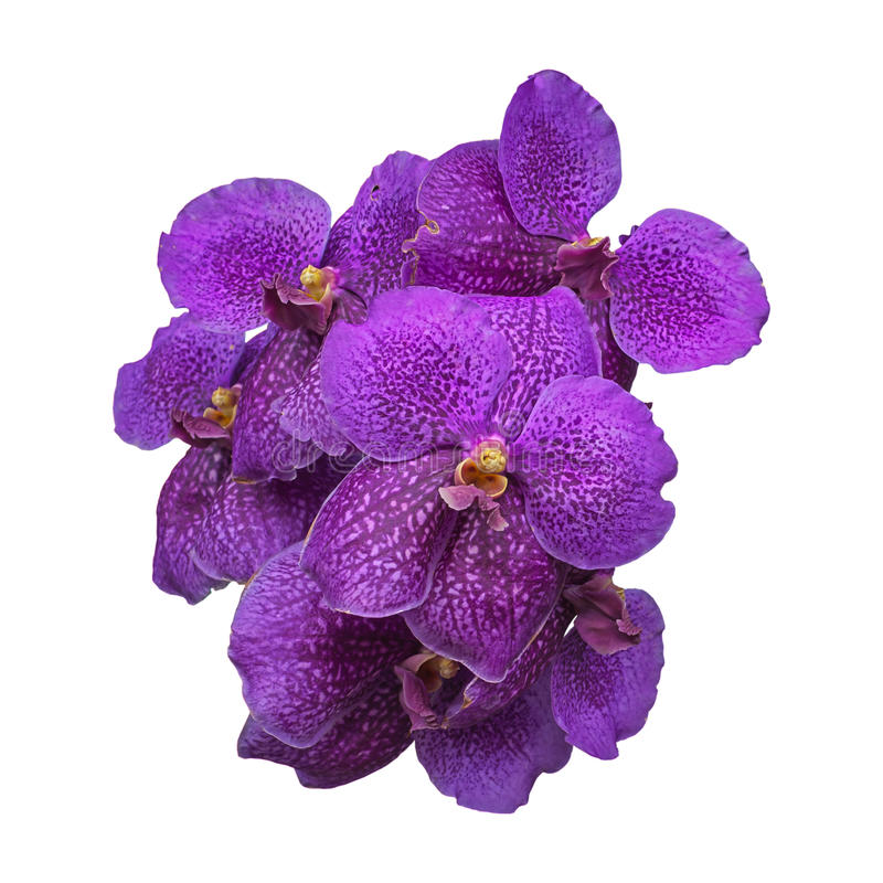 orchidee pourpre