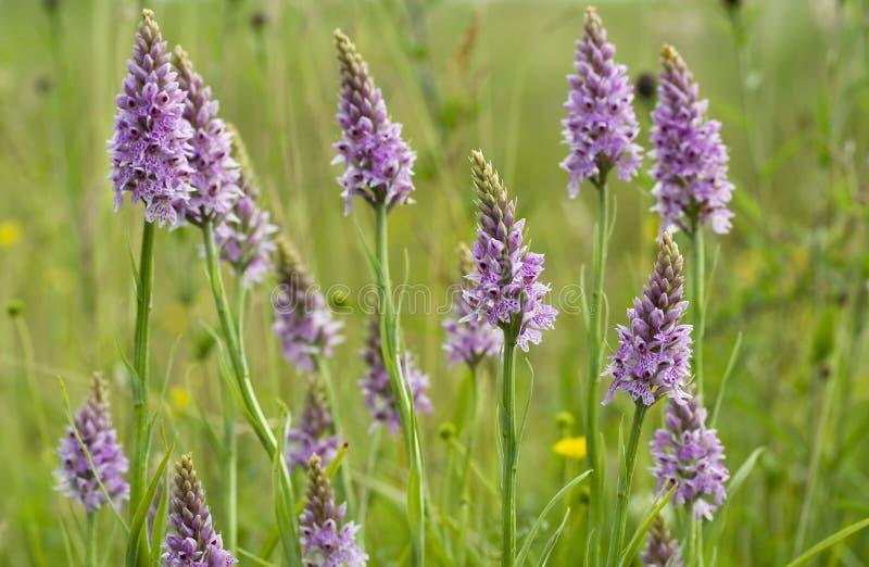 Orchidée repérée commune images stock