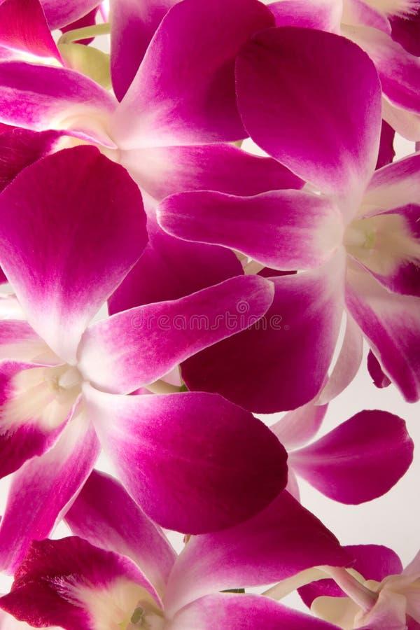 Orchidée rose photos stock