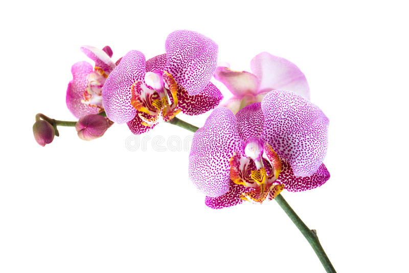 orchid e rose photo stock image du orchid e p tale 22662412. Black Bedroom Furniture Sets. Home Design Ideas