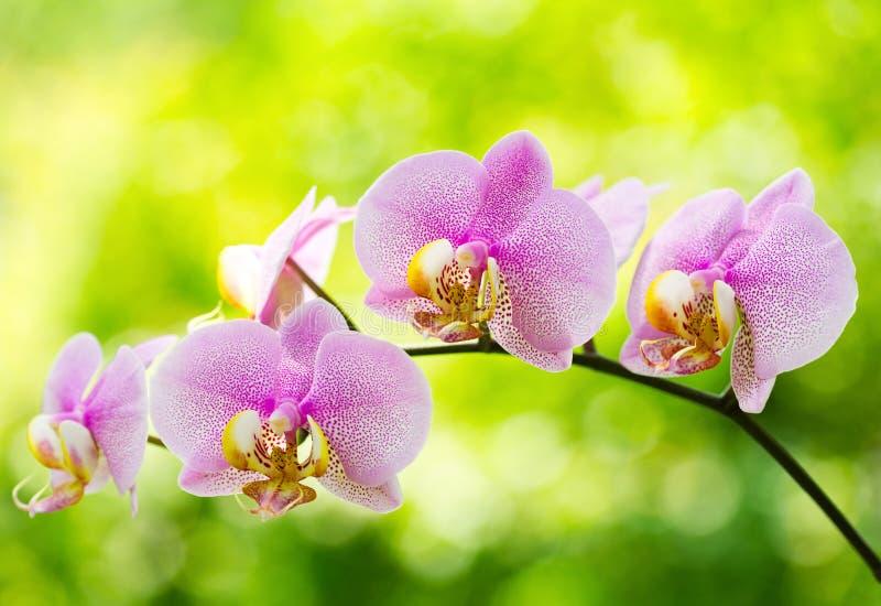Orchidée rose images stock