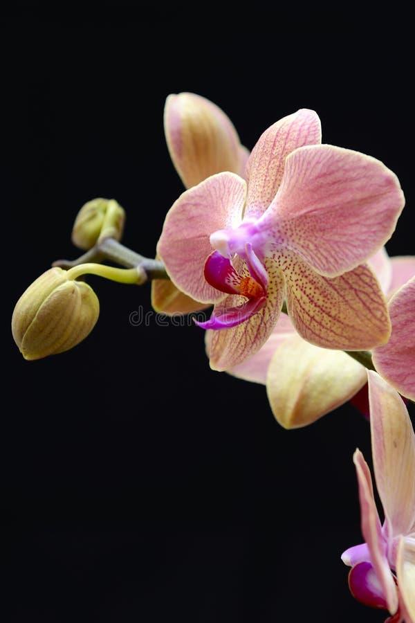 Download Orchidée rose image stock. Image du nature, individuel - 45359105