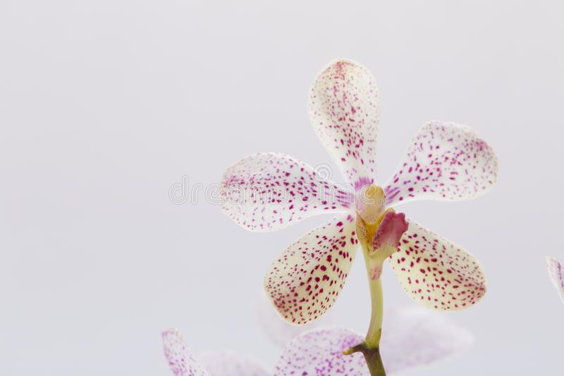 Orchidée rose blanche de Mokara sur le fond blanc images libres de droits