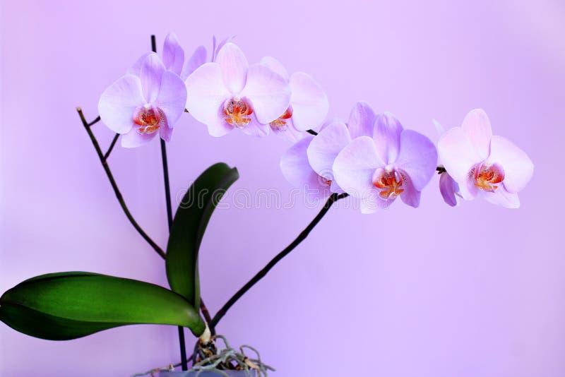 Orchidée rose Branche de fleur décorative de floraison photo libre de droits