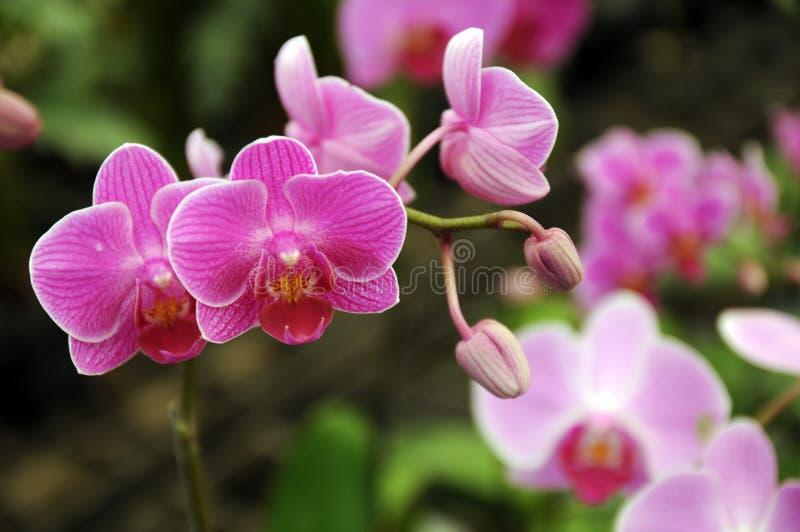 Orchidée rose dans le repaire d'orphie, Phalaenopsis images stock
