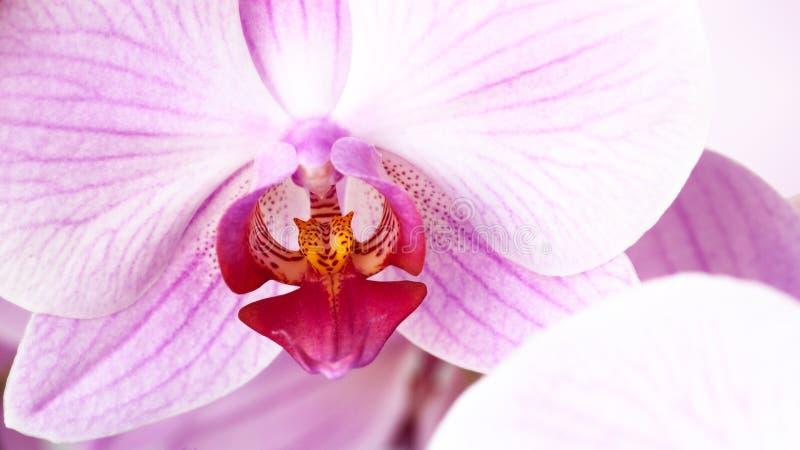 Orchidée rose de beauté photo stock