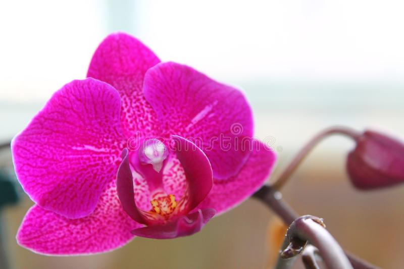 Orchidée rose de phalaenopsis de fleur d'écarlate sensible sur le fond blanc photos stock