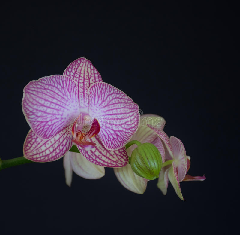 orchidee a contres