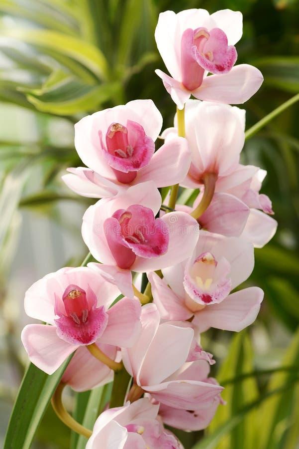 Orchidée rose fleurissante de Cymbidium photographie stock libre de droits