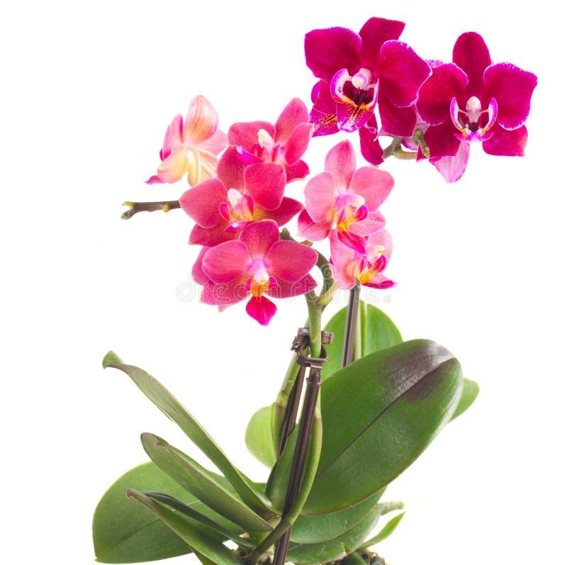 Orchidée rose fraîche dans le pot photographie stock