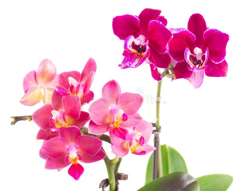 Orchidée rose fraîche dans le pot images stock