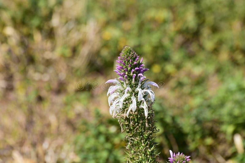 Orchidée sauvage de nepalense de Satyrium dans Mandalpatti image stock
