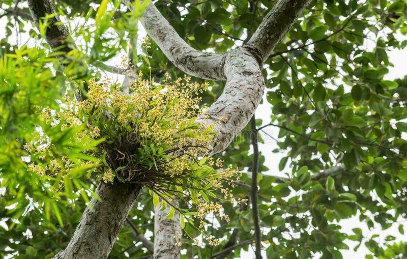Orchidée sauvage jaune sur l'arbre photo stock
