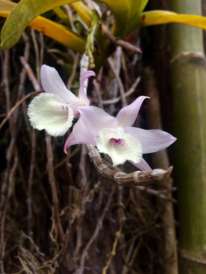 Orchidée sauvage pourpre sur la promenade latérale photo stock