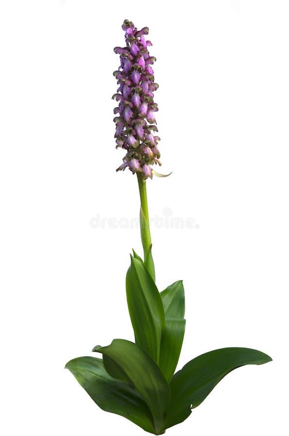 orchid e sauvage robertiana de barlia photo stock image du rose nature 29473712. Black Bedroom Furniture Sets. Home Design Ideas