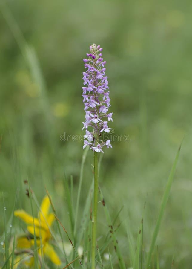 Orchidée sauvage s'élevant dans un pré photos libres de droits