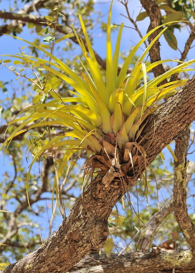 Orchidée sauvage sur le branchement d'arbre photographie stock libre de droits