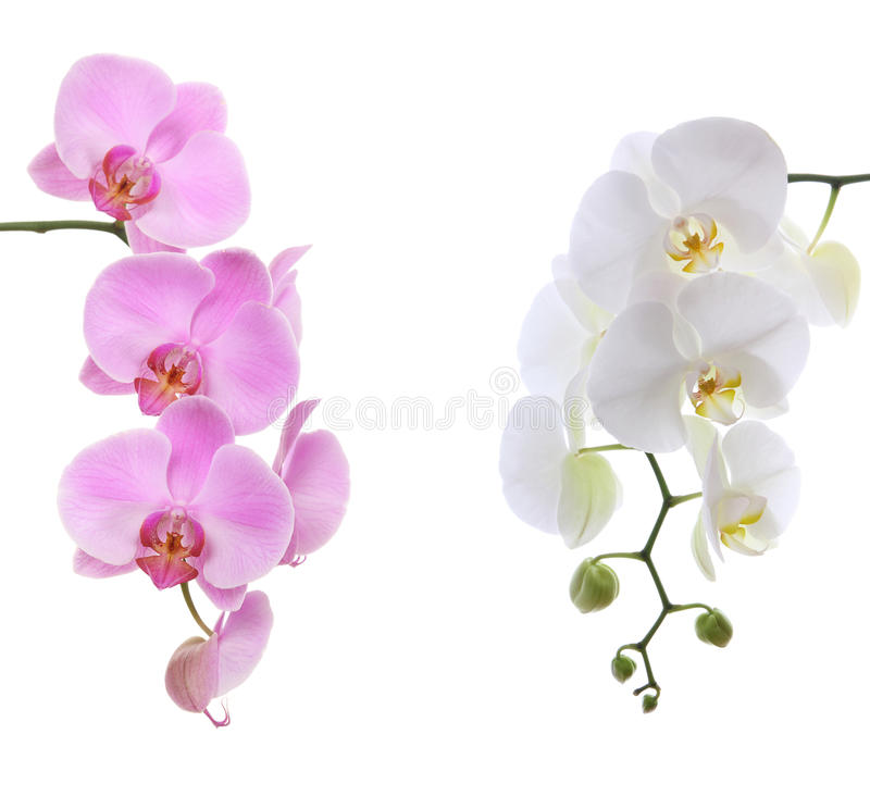 Orchidée sensible blanche rose d'american national standard image libre de droits