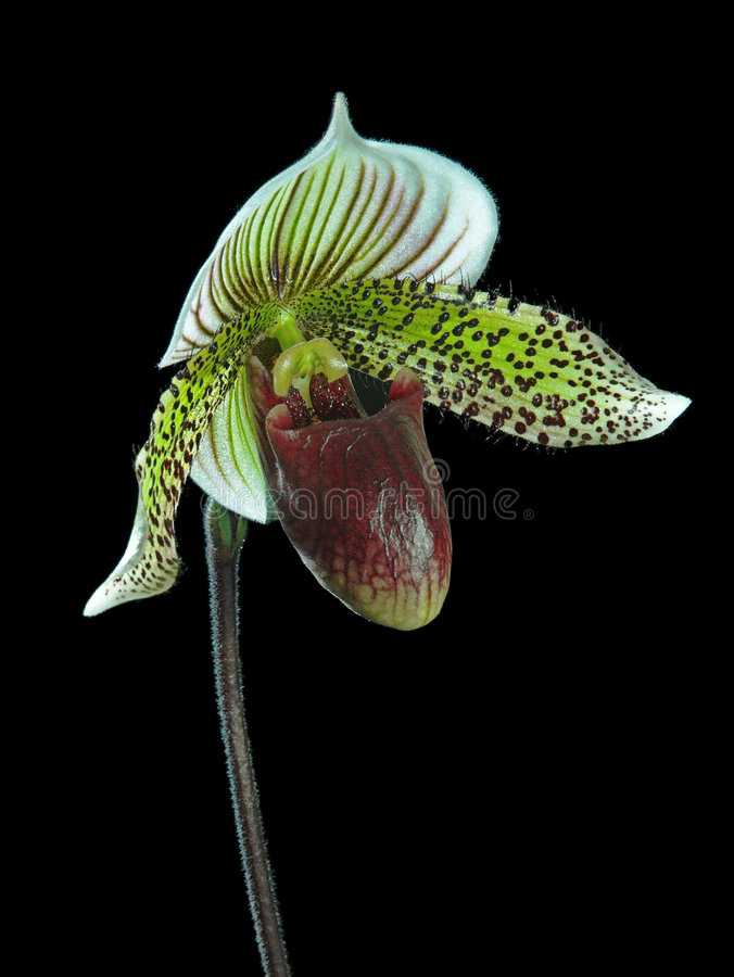 Orchidée sur le noir photo libre de droits