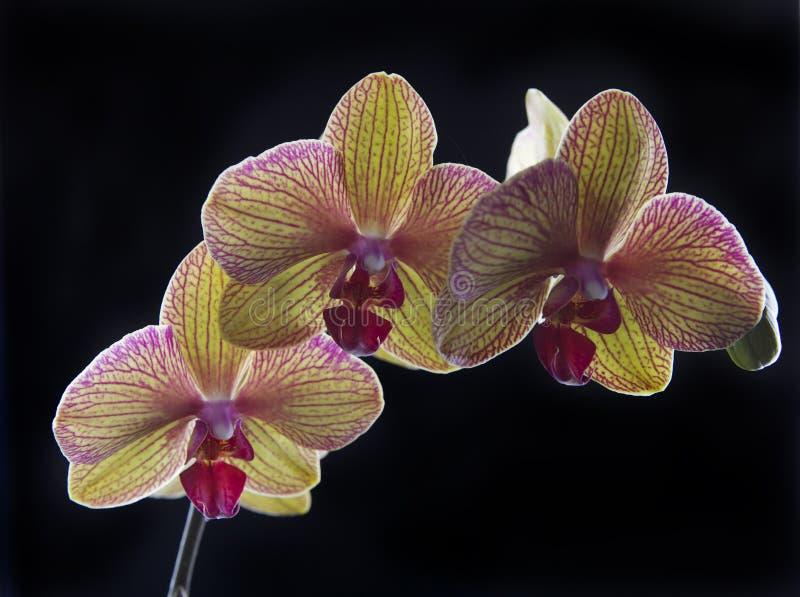 Orchidée sur le noir image libre de droits