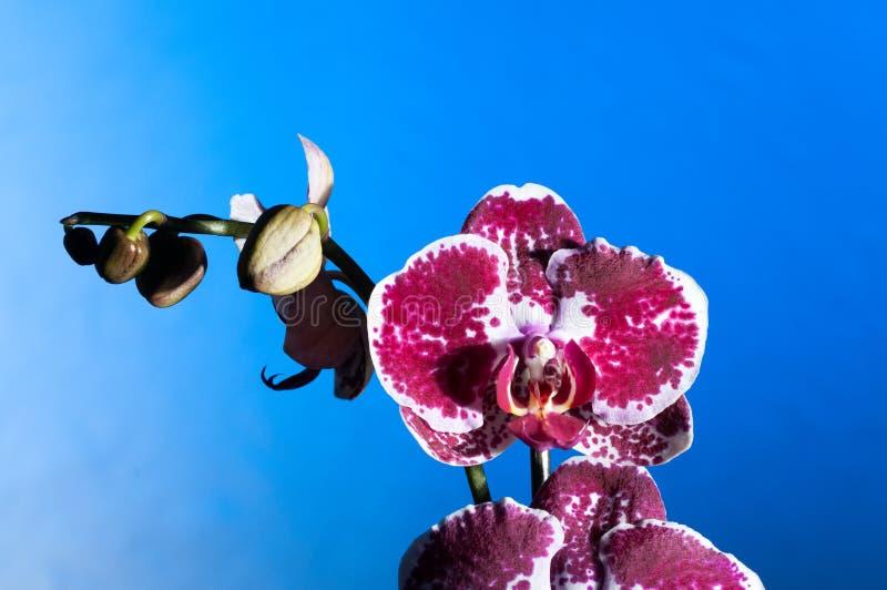 Orchidée sur un fond bleu photos libres de droits