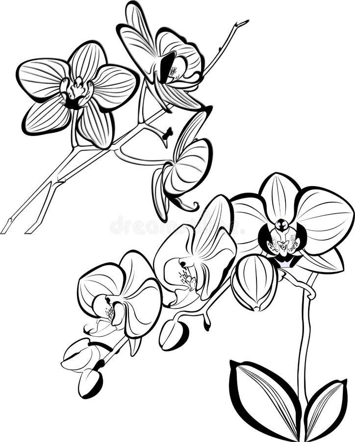 orchidées illustration stock