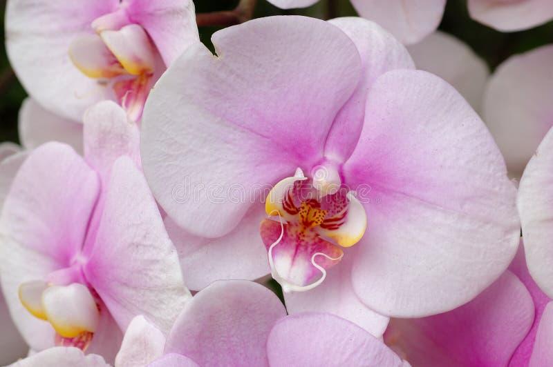 orchidées Blanc-roses photo libre de droits