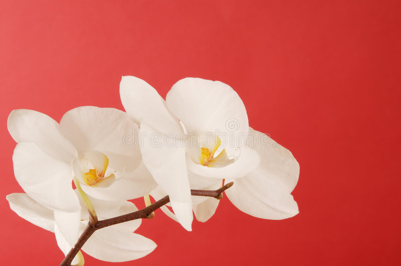 Orchidées blanches image libre de droits