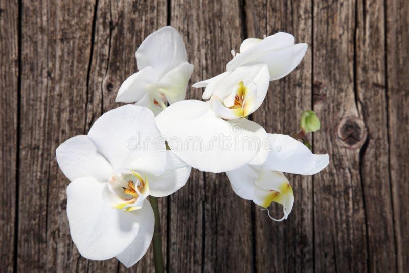Orchidées blanches de phalaenopsis photographie stock